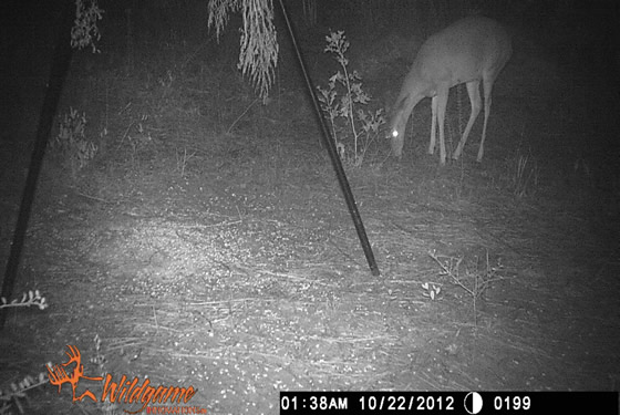 Game camera picture of a doe