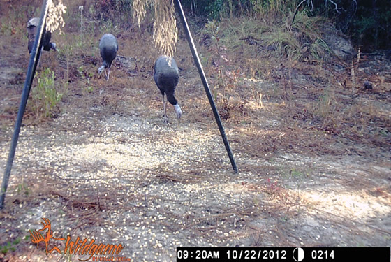Game camera picture of three turkeys