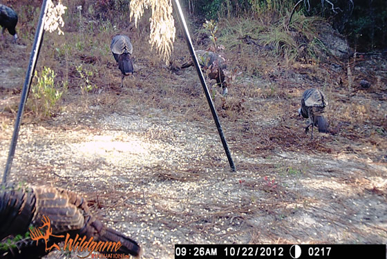 Game camera picture of four turkeys