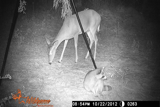 Game camera picture of a doe and racoon