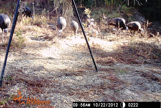 Game camera picture of six turkeys