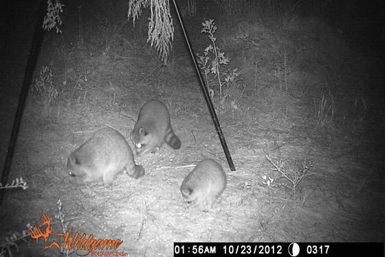 Game camera picture of three racoons